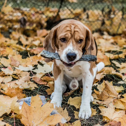 Frost @frostthebeagle